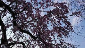 名古屋市中区新栄のしだれ桜